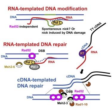 ДНК полимераза ζ участвует в механизмах починки и модификации ДНК с помощью РНК., изображение №1