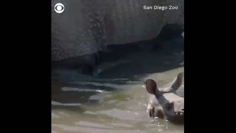 Watch as this rhino calf gets the chance to explore its habitat for the first time at the San Diego Zoo