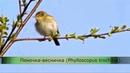 Пение птиц. Пеночка-весничка (Phylloscopus trochilus).