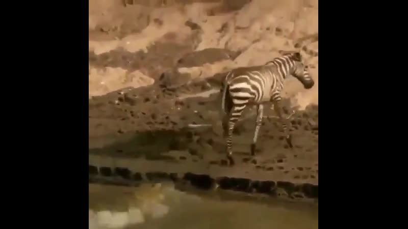 Зебра в последний момент избежала пасти крокодила