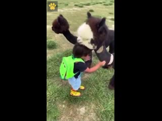 Альпака знакомится с ребёнком