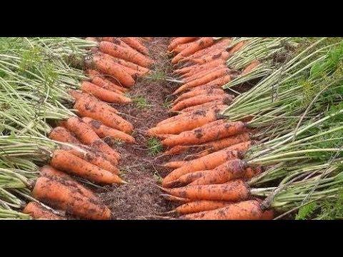 Что точно нужно знать чтобы вырастить урожайную морковь