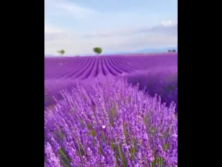 Lavender - One of my favourite fragrance