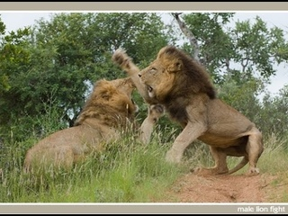 Natgeo Documentary - WHEN LIONS ATTACK - - Mana Pools National Parks - ZIMBABWE - HD 1080p