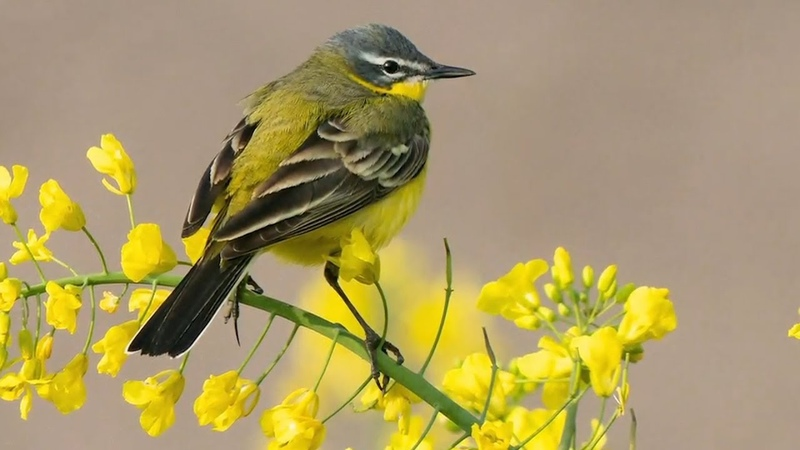 Peaceful Relaxing Instrumental Music Calm Meditation Music Spring Songbirds by Tim Janis