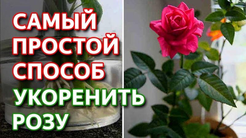 Укоренить любую розу Самый простой способ как укоренить розу