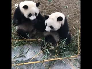 Веселые панды