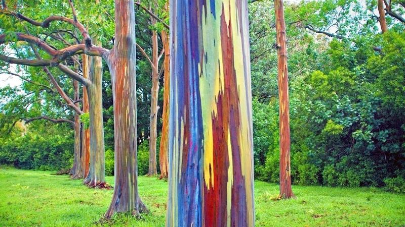 Чудо природы Радужный эвкалипт