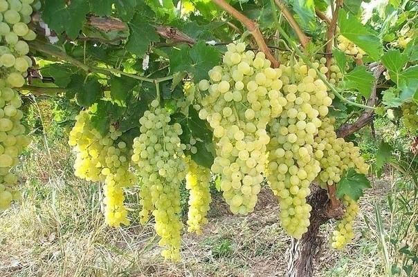 Выращиваю виноград на своем участке уже 8 лет
