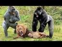 Cạn Lời Sự thật ngược đời Khỉ Đầu cho lại Chăm bẵm Sư tử Con - Chuyện gì Xảy ra Sư Tử đối đầu Khỉ