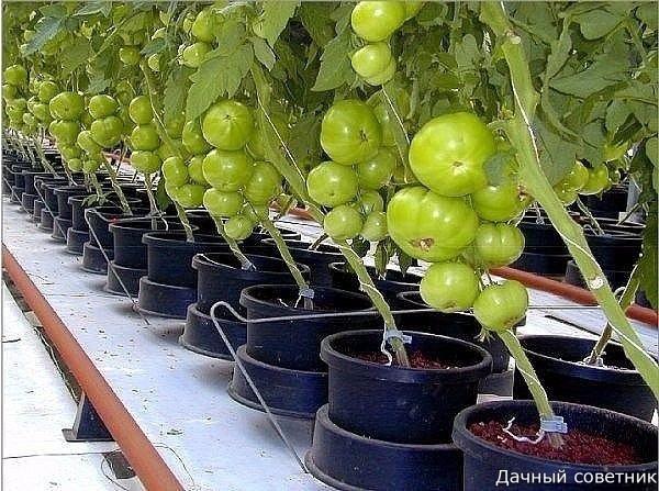 Выращиваем томат в ведрах!