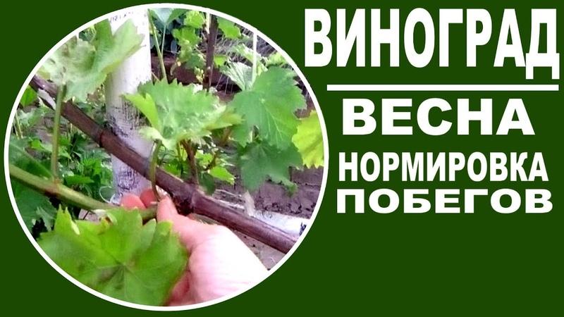 Виноград весной . Как нормировать виноград побегами