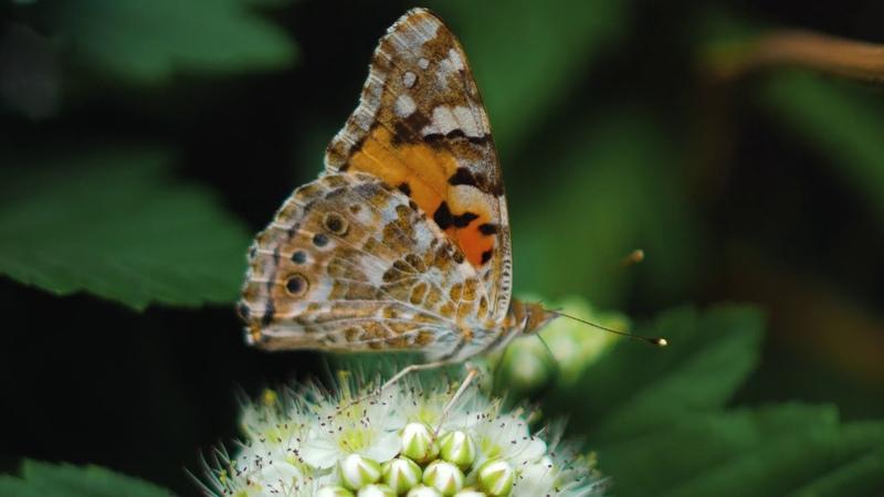 Бабочка путешественник Ванесса репейная