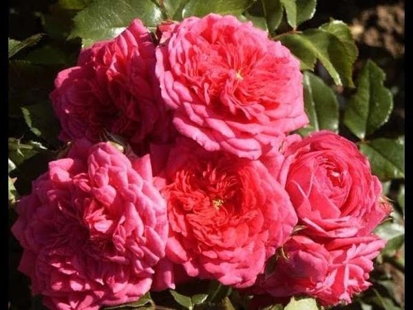 роза Лагуна плетистая красавица в нашем саду