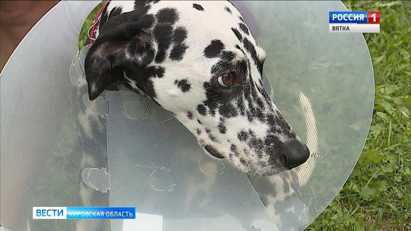 После нападения мастифа на далматинца владельцы собак разберутся в полиции(ГТРК Вятка)