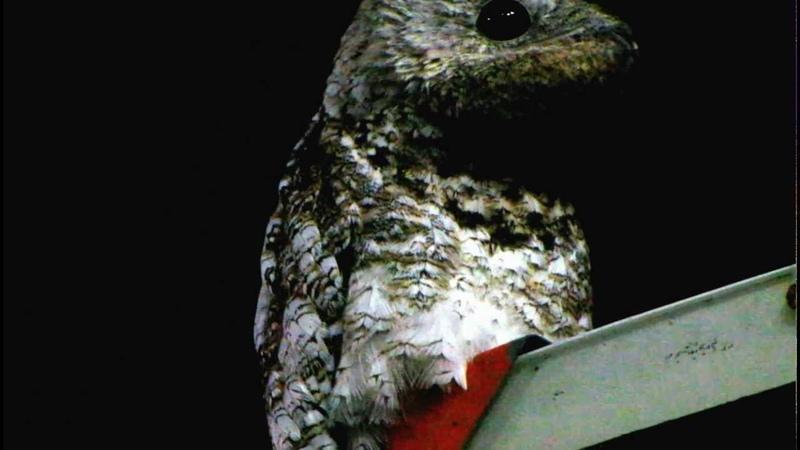 Исполинский лесной козодой Great Potoo Nyctibius grandis