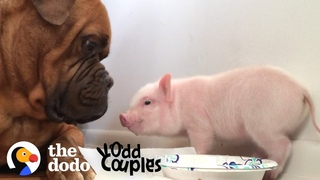 Watch This 135 Pound Dog Fall in Love with a Tiny Piglet | The Dodo Odd Couples