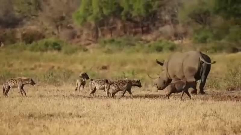 Непонятно на что рассчитывала стая пятнистых гиен преследуя этого белого носорога но он буквально класть хотел на них