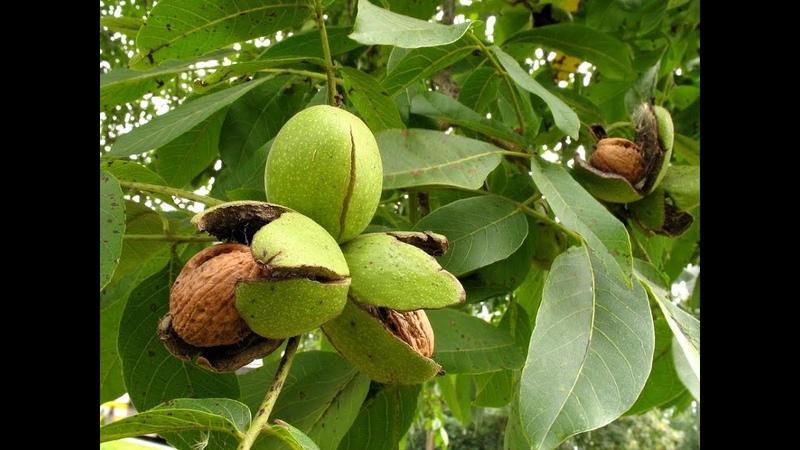 Выращивание грецкого ореха на Урале Весенняя подкормка ореха Формировка в один ствол