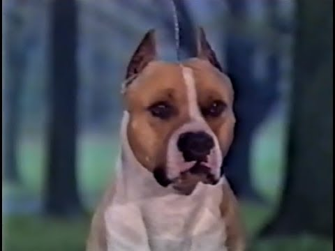 American Staffordshire Terrier AKC Dog bred series