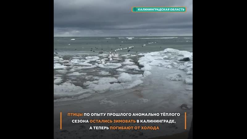 Лебединая песня не спета В Калининграде гибли птицы которые не улетели на юг Сейчас у них есть надежда на спасение