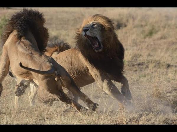 老狮王vs卡卡与马里达迪雄狮