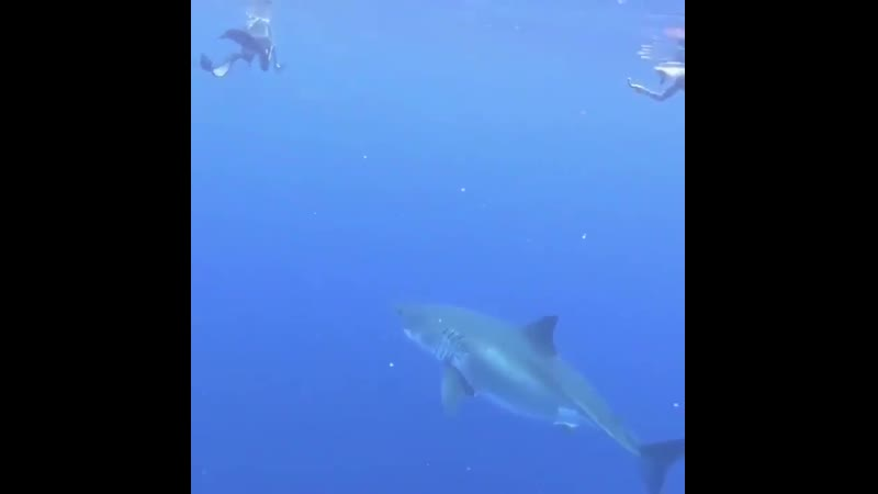 Белая акула и человек которые плавают вместе