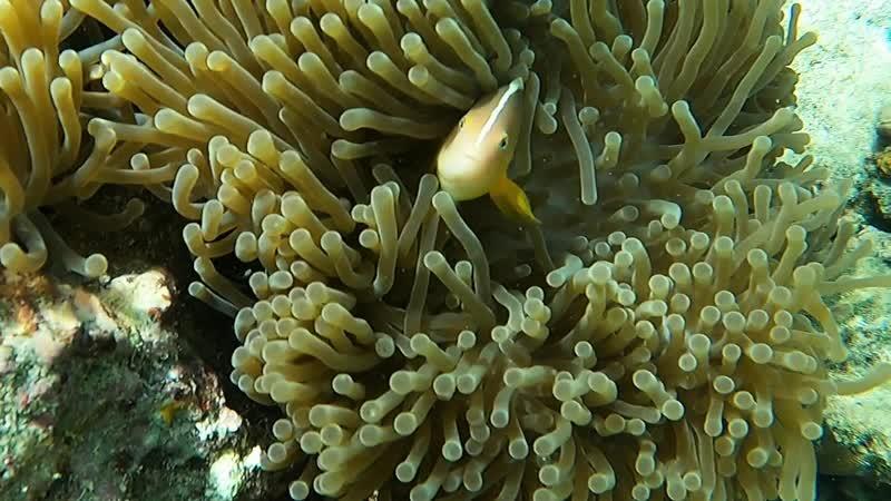 Рыбы клоуны и актинии