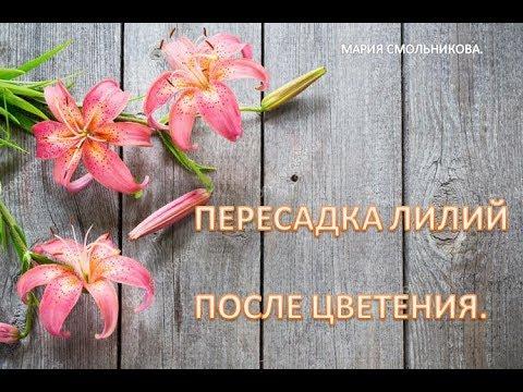 Пересадка лилий после цветения